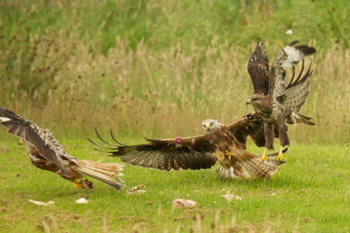 Red Kites Being Fed Chicken in England